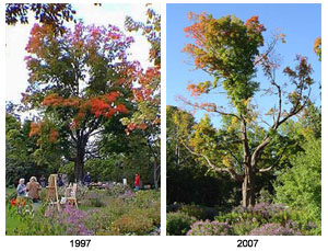 Entrance Maple, 1997 & 2007