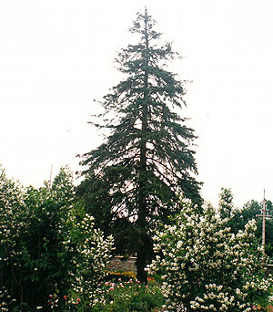 White Spruce & Mock Orange